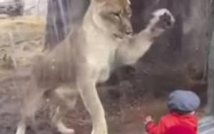 Τέξας: Το λιοντάρι που… ορέγεται τον μικρό θαυμαστή του! (video & pics)