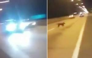 Χιλή: Τηλεμεταφερόμενος… σκύλος γλίτωσε από βέβαιο θάνατο! (video)