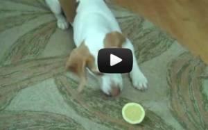 Ξεκαρδιστικό: Σκύλος εναντίον λεμονιού (Video)