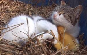 Γατάκι δέχεται επίθεση φιλίας από παπάκια (video)