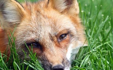 Χάσκι και αλεπού ζουν μαζί (video)