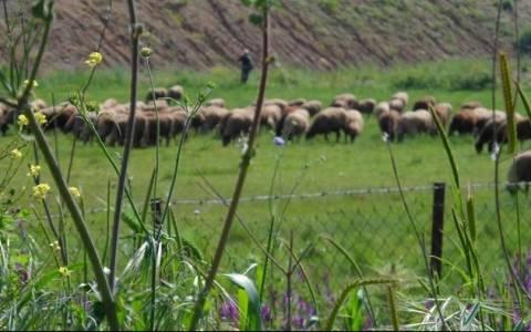 ΣΕΚ: Ανάγκη εθνικής στρατηγικής για την ανάπτυξη της κτηνοτροφίας