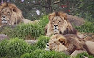 Σεούλ: Νεκρός υπάλληλος σε ζωολογικό κήπο έπειτα από επίθεση λιονταριών