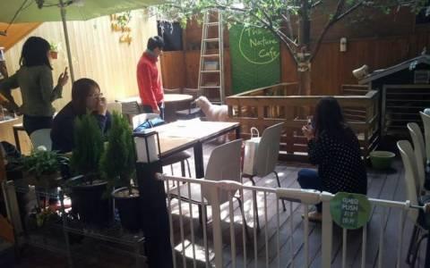 Ν.Κορέα: Άνοιξε καφέ με πρόβατα (video)