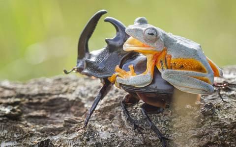 O βάτραχος καβαλάρης (photos)
