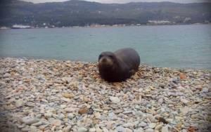 Σάμος: Η φώκια Αργυρώ κάνει επισκέψεις σε σπίτια! (photo)