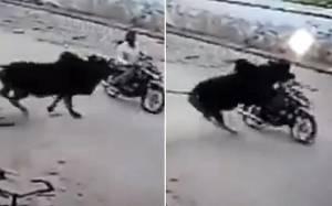 Μοτοσικλετιστής εν κινήσει δέχεται επίθεση από… ταύρο (video)
