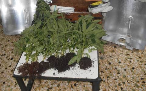 Καβάλα: Καλλιεργούσε κάνναβη στο πατρικό του!