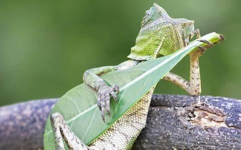 Thin Lizard: Η σαύρα που ροκάρει (photos)