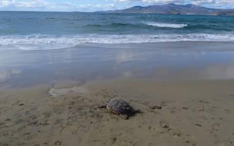 Νεκρή χελώνα σε παραλία της Νάξου (photos)