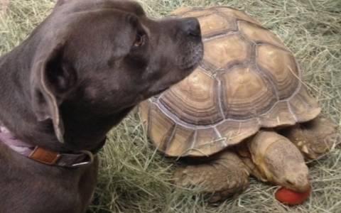 Γιατί κυνηγάει μια χελώνα ένα σκύλο; (Video)
