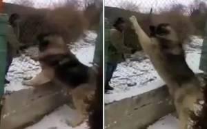 Είναι αυτός ο μεγαλύτερος σκύλος του κόσμου; (video)