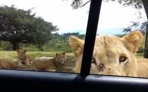 Λιοντάρι ανοίγει την... πόρτα αυτοκινήτου! (video)