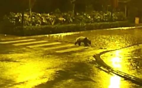 Κίνα: Μοναχικό panda πήρε τους δρόμους (video)