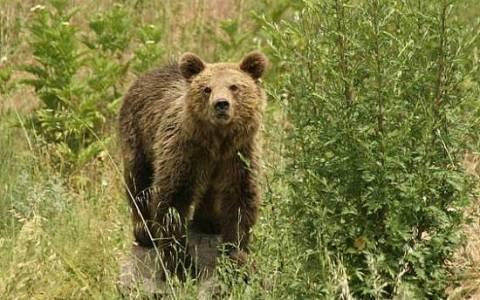 Αρκούδα εισέβαλε σε νεκροταφείο στο Μέτσοβο