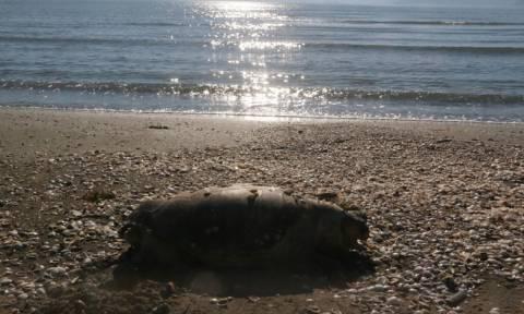 Νεκρές βρέθηκαν τρεις χελώνες Καρέτα Καρέτα μέσα σε μια ημέρα