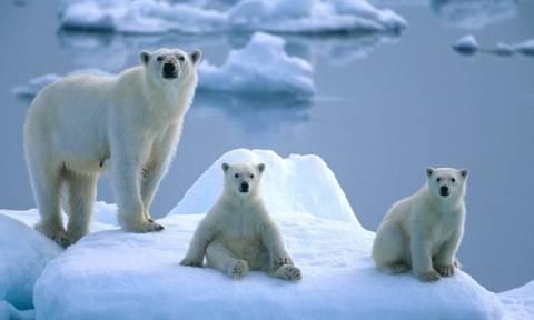 Νορβηγία: Προσέξτε τις πολικές αρκούδες την ώρα της έκλειψης