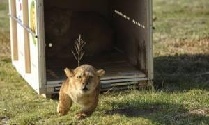Απελευθέρωση άγριων ζώων: Δείτε το συγκινητικό video