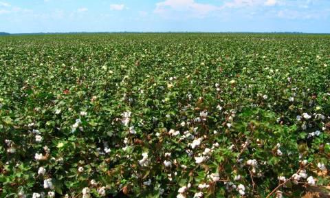 Βουλευτές ΝΔ καταγγέλλουν στάση πληρωμών στους βαμβακοπαραγωγούς