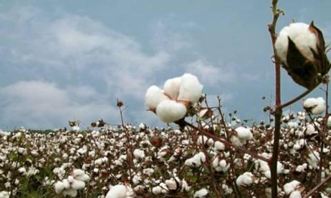 Υπ. Παραγωγικής Ανασυγκρότησης: Άμεσα οι ενισχύσεις στους βαμβακοπαραγωγούς