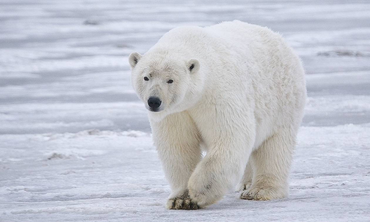 Νορβηγία: Πολική αρκούδα επιτέθηκε σε τουρίστες