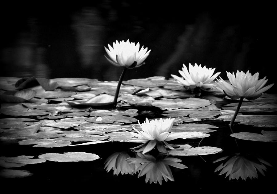 black and white water lily jose medina