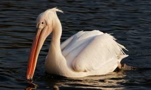 Βουλγαρία: 21 Πελεκάνοι θύματα της γρίπης των πτηνών