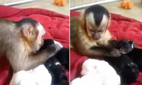 Το πιο γλυκό βίντεο της ημέρας: Μαϊμού χαϊδεύει... κουταβάκια!