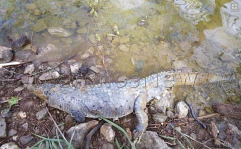 Κρήτη: Εντοπίστηκε νεκρός ο Σήφης ο κροκόδειλος (Photos)