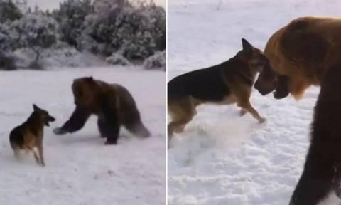Αρκούδα παίζει στο χιόνι με ένα… σκύλο! (video)