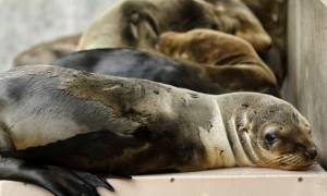 Ρεκόρ θαλάσσιων λιονταριών έχουν εξοκείλει λόγω έλλειψης τροφής