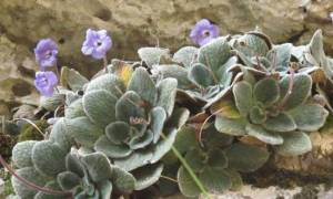 Τα «Ολύμπια Μονοπάτια» θα είναι αφιερωμένα στο λουλούδι «γιάνκεα»
