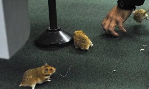 Βραζιλία: Σκηνές απείρου κάλλους μετά την «εισβολή» ποντικών σε συνεδρίαση της βουλής