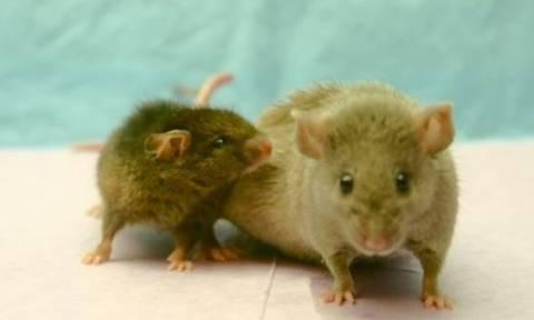 Βραζιλία: Ποντίκια εισέβαλαν στο Κοινοβούλιο (video)