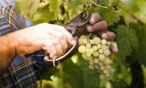 Υποχώρησε κατά 16,24% η παραγωγή οίνου την αμπελοοινική περίοδο