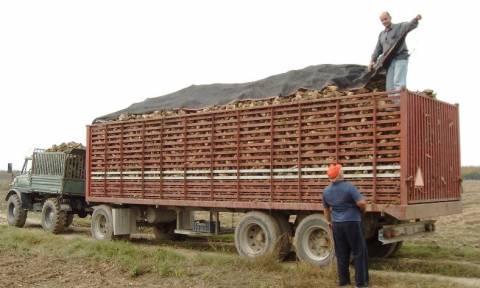 Στόχος των τευτλοπαραγωγών τα 60.000 στρέμματα