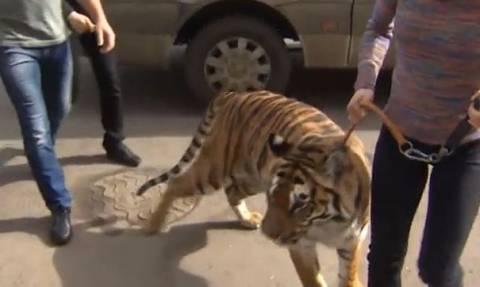 Ρωσία: Τίγρη επισκέφθηκε ανάπηρο αγοράκι στο νοσοκομείο! (video)