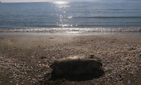 Κι άλλη νεκρή χελώνα ξεβράστηκε στην Κρήτη