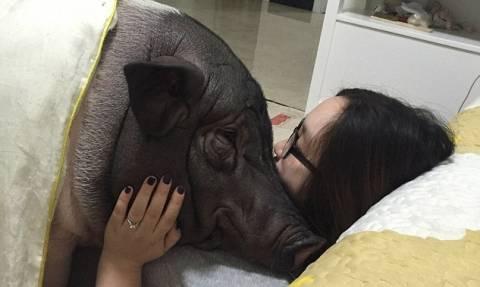 Κίνα: Κοιμάται με ένα γουρούνι και ο σύζυγος δείχνει κατανόηση