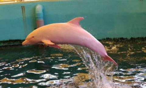 Ιαπωνία: Δελφίνι αλμπίνο γίνεται... ροζ όταν αλλάζει η διάθεσή του! (video)