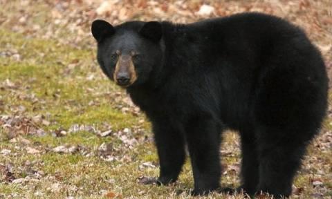 Σέρρες: Επίθεση μαύρης αρκούδας σε μαντρί