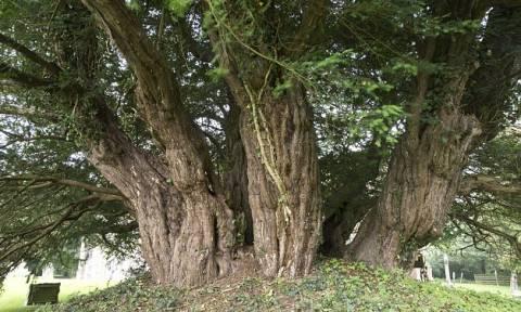 Κινδυνεύει το αρχαιότερο δέντρο της Βρετανίας