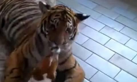Το πιο ατρόμητο σκυλάκι του πλανήτη παίζει με μία… τίγρη! (video)