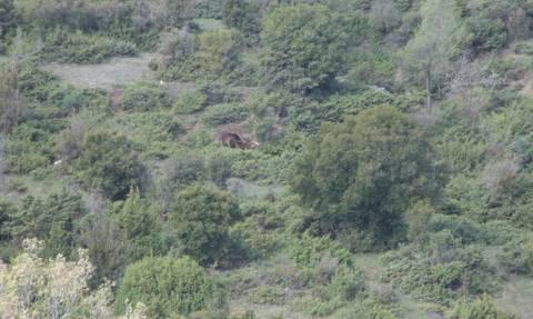 Κοζάνη: Απελευθέρωσαν αρκούδα που είχε πιαστεί σε παγίδα (video)