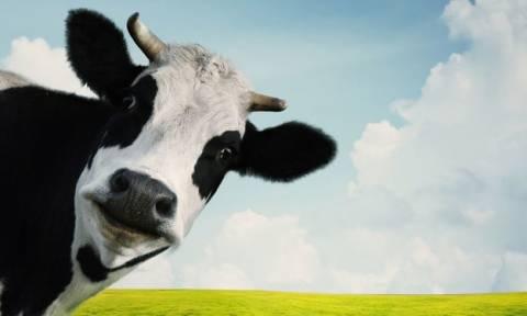 Έπιασε τον αδελφό του στα πράσα να κάνει σεξ με την... αγελάδα του