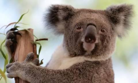 Αυστραλία: Κοάλα «κόβει» βόλτες σε… νοσοκομείο! (video)