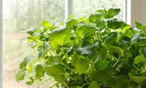 Αυτά είναι τα φυτά που διώχνουν τα κουνούπια