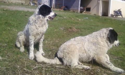 Ομαδική δηλητηρίαση 26 ποιμενικών σκύλων στην Ελασσόνα