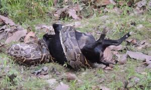 Πύθωνας καταπίνει αμάσητη ολόκληρη κατσίκα! (video)