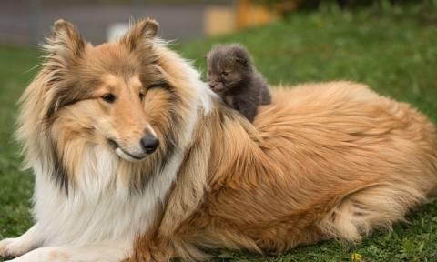Σκύλος υιοθετεί αλεπουδάκι (photos)